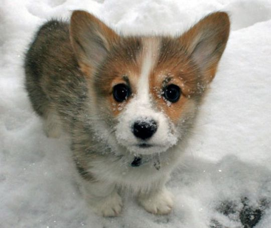 welsh-corgi-puppy-1.jpg