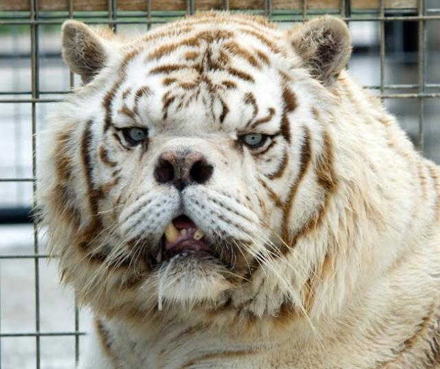inbred-white-tiger-kenny-3.jpg