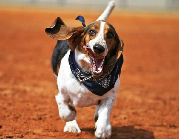 basset hound running 3 Nine Hilarious Photographs Of Basset Hounds Running