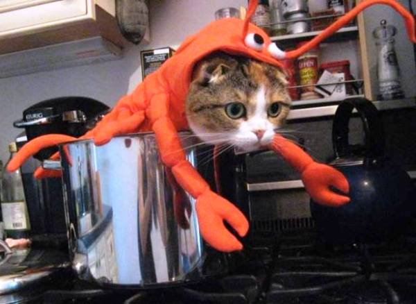 Thème : les chats ! Cat-lobster-costume