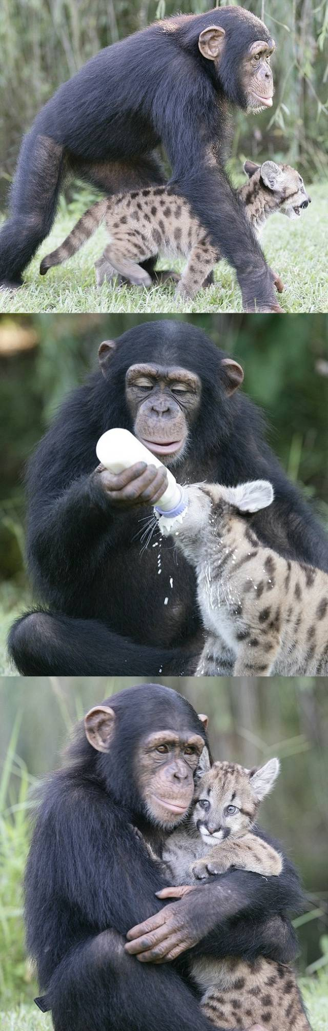 puma cub chimpanzee friends The 10 Most Adorable Animal Friendships
