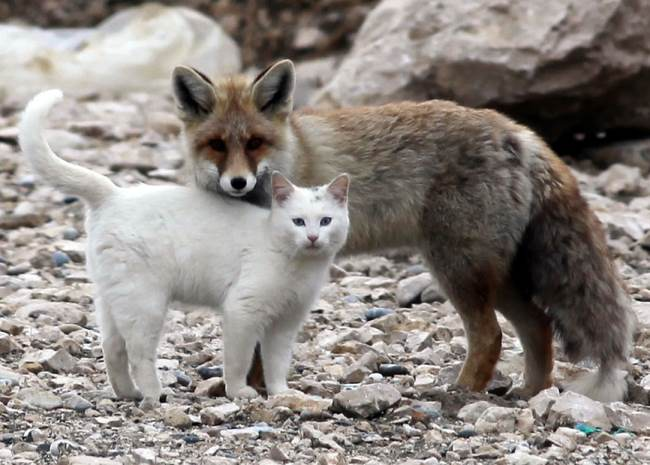 cat fox friends 1 When A Cat & Fox Become Friends