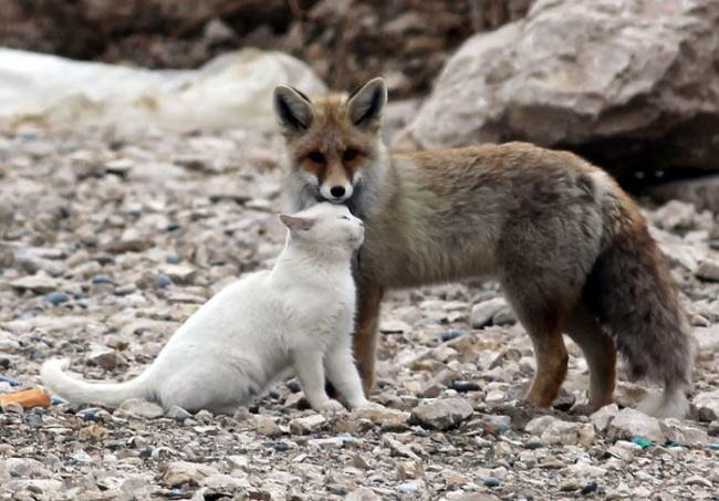 cat fox friends 7 When A Cat & Fox Become Friends