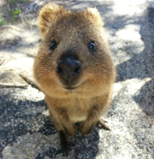 26 Adorable Pictures Of The Quokka, The Happiest Animal On ...  26 Adorable Pic...